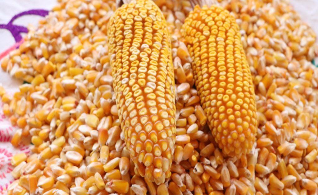 Impulsa SDR rescate de los maíces nativos