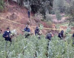 Asegura Policía Estatal 250 plantas de amapola